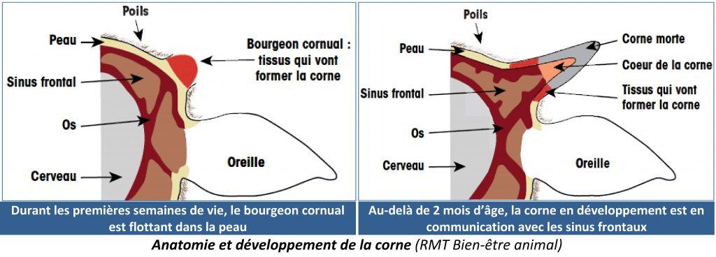 Anatomie et développement de la corne (RMT Bien-être animal)